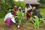 Agricultural expert showing farmers how to apply homemade liquid fertiliser to maize plants. Kenya.