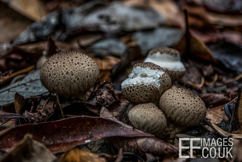 Mushrooms Growing Through Leaves On The Forest Floor