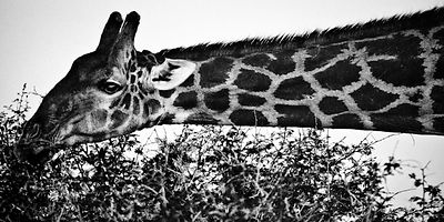 0126-The_long_neck_giraffe_Namibia_2004_Laurent_Baheux