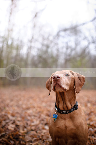 handsome old red gundog posing sitting in autumn leaves