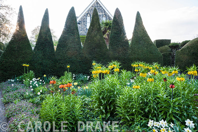 Crown imperials, Fritillaria imperialis, in yellows and oranges dominate planting in the Canal Garden in April, surrounded by narcissi and pulmonarias and mounds of new delphinium foliage. A tall serrated yew hedge provides a dark backdrop, with the house behind. York Gate Garden, Adel, Leeds, Yorkshire