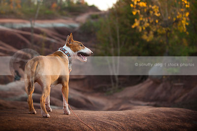 tan and white dog from behind standing on red clay ridge in autumn