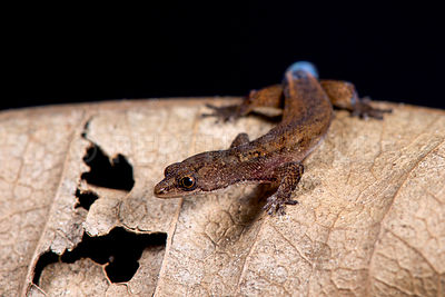 Brazilian pygmy gecko (Chatogekko amazonicus)  photos