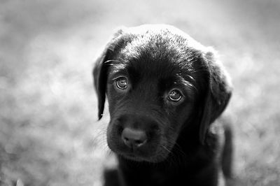 Puppy Eyes - Labradorable Range.