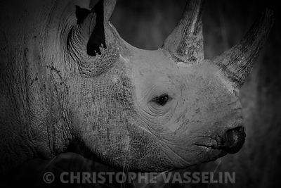 Portrait of Black rhino