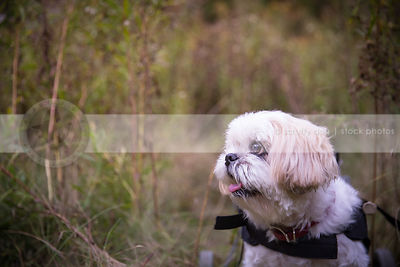 portrait of cute little handicapped dog in wheelchair in natural setting