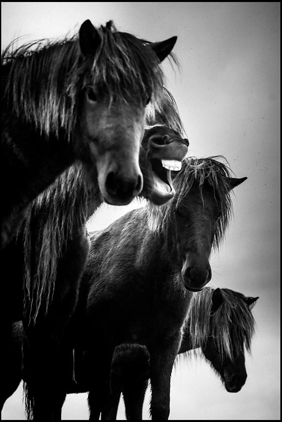 Just for laughs, Wild horse of Iceland 2015 © Laurent Baheux