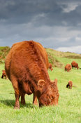 Scottish native Luing cattle grazing on moorland on the Isle of Luing, off the west coast of Scotland