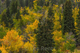 Autumn Forest in Great Basin National Park