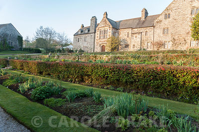 Dawn sunlight lights up the east front of the house, seen from the east terrace, over clipped hedge of ornamental quince, Chaenomeles. Cotehele, Cornwall, UK