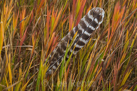 Wild Turkey Feather in an Autumn Meadow in Great Basin National Park