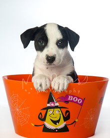 Cute black and white puppy in halloween bucket looking at camera