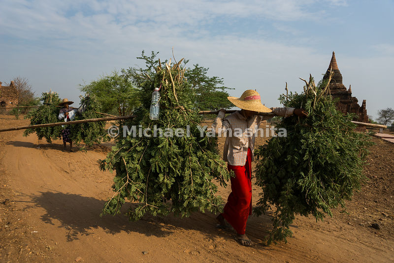 A farmer balances uprooted shrubbery on her shoulders in Bagan. The leafy greens are used as cattle feed.