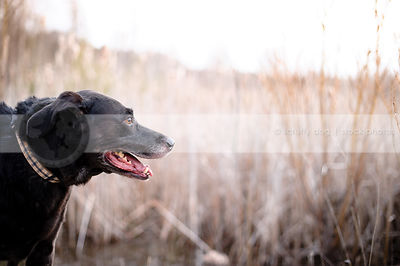 headshot of senior black labrador retriever