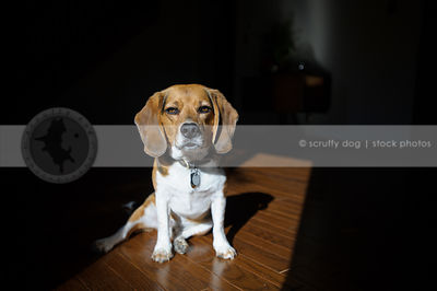 serious beagle dog sitting in sunshine on hardwood floor indoors