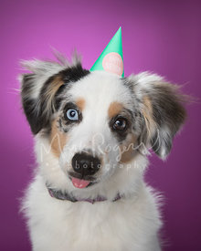 Mini-Australian Shepherd Puppy with Hat and Tongue Out