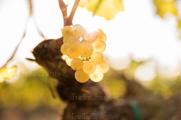 Bunch of green grapes shining in sunlight on a vine