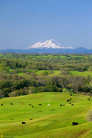 Mount Shasta and Grazing Cows #2