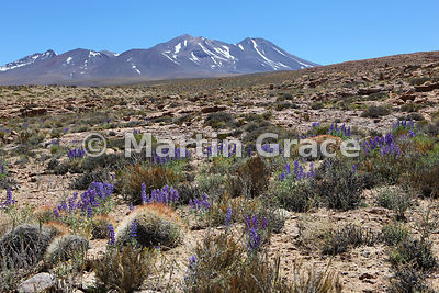 Lupin (Lupinus oreophilus), Altiplano south-east of Socaire, Atacama, Chile