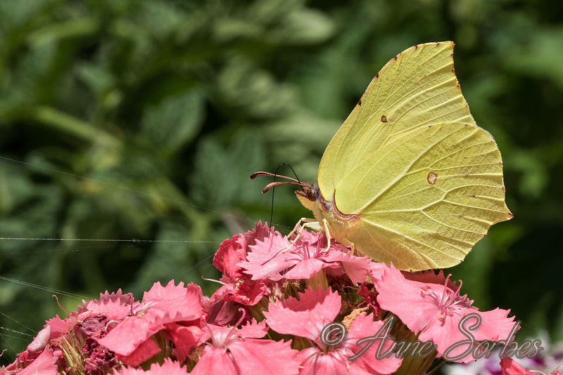 The Brimstone (Gonepteryx rhamni) photos