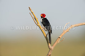 yellow_billed_cardinal_pantanal-5