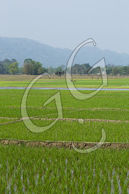 Rice Field / Assam India