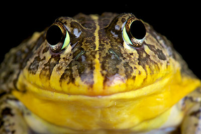 Edible bullfrog (Pyxicephalus edulis)   photos