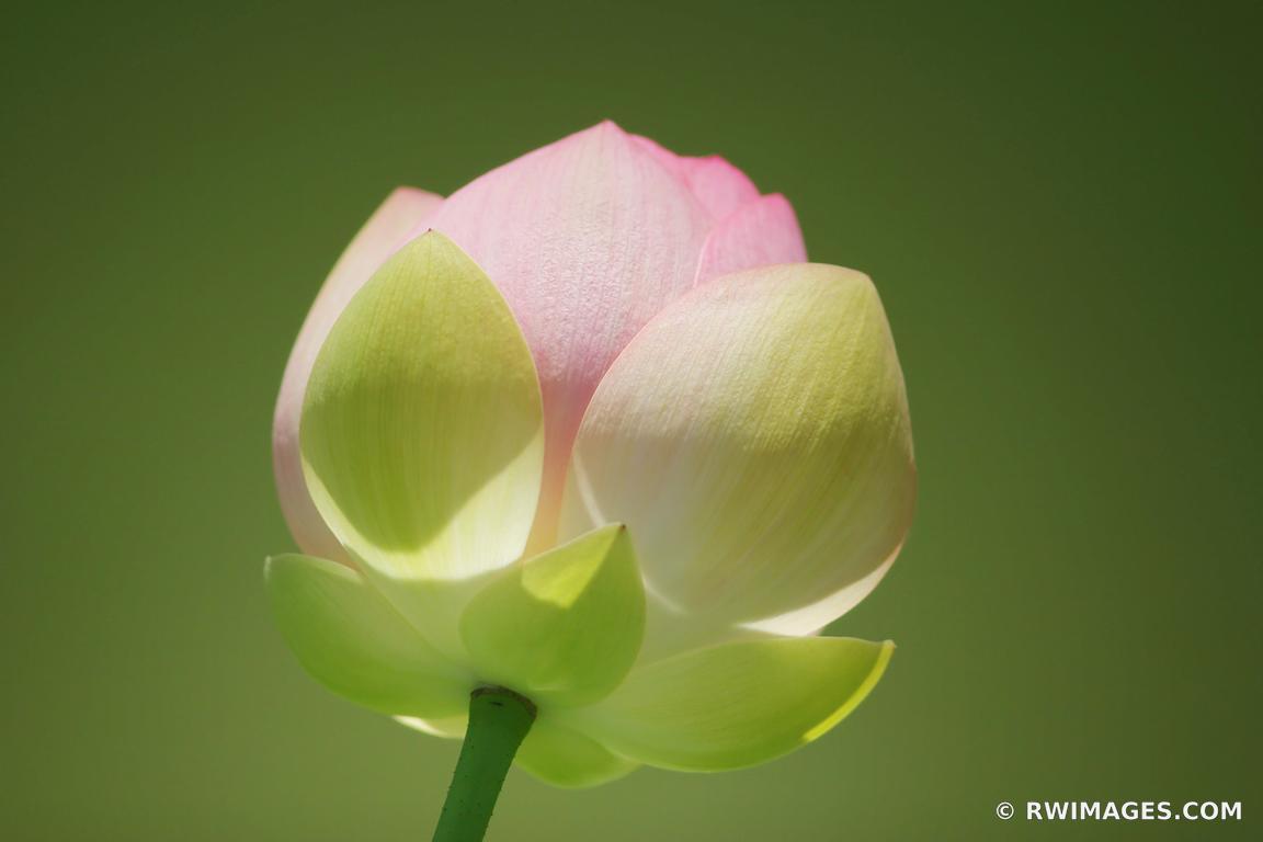Photo Print Of Lotus Flower Print Framed Picture Fine Art