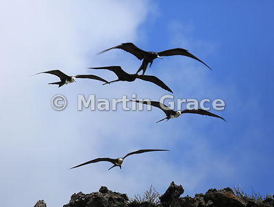 Fly-past of five Great Frigatebirds (Fregata minor ridgwayi) - two adults and three juveniles, Islote Pitt, San Cristobal, Galapagos Islands
