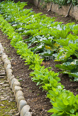 Line of courgette plants including yellow variety 'Parador'. Clovelly Court, Bideford, Devon, UK