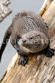 River Otter Pup Log Cling 1