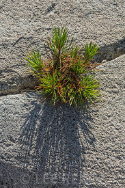 Lodgepole Pine Growing from Granite Crack in the Desolation Wilderness