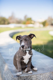 Small Grey and White Pit Bull Puppy Looking Sideways