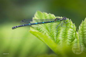 Female Azure Damselfly: