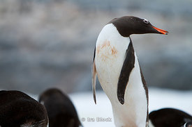 A gentoo penguin standing in a large grouping of penguins  and turned it's face at the Antarctic Peninsula.
