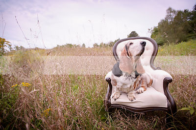 basset hound dog sniffing air scent sitting on chair in field