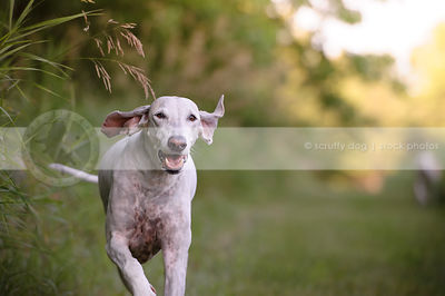 white hound with floppy ears running towards camera