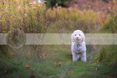 cute small cream cockapoo dog standing in meadow grasses