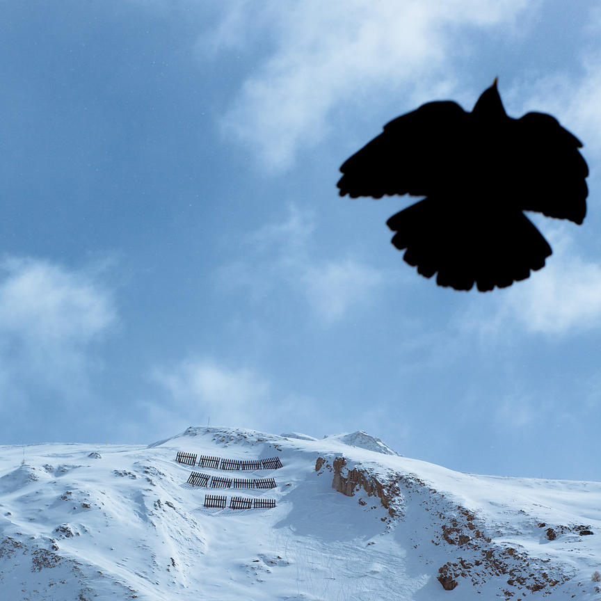 Black bird,  Les Alpes