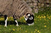Swaledale sheep grazing in field. Cumbria