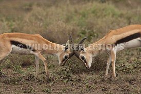 thomsons_gazelle_battle_47