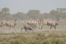 Eland and Wilebeest Stampede 8