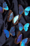 Adult Morpho butterflies cluster together. Buttrflies  are one of nature's many pollinators for flowers and crops and are crucial in production for fruits and vegetables.
