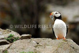 Horned Puffin Mouthful Fish 18