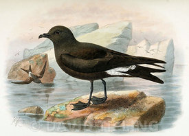 Guadalupe storm petrel (Oceanodroma macrodactyla) by John Gerrard Keulemans from 'Monograph of the Petrels' by Frederick Godman from the year 1907