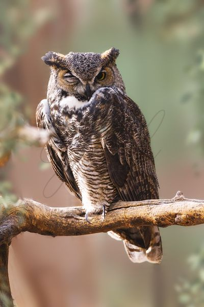 Great Horned Owl Perched on Branch
