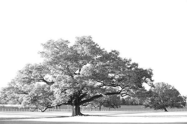 OAK ALLEY PLANTATION VACHERIE LOUISIANA BLACK AND WHITE