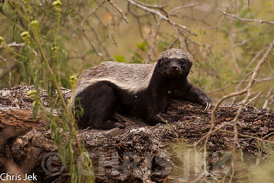 Honey_Badger_(43)