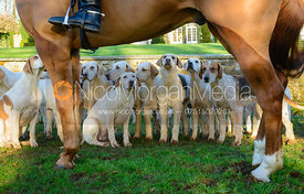 Cottesmore hounds at Pickwell Manor