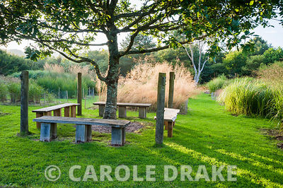 Quercus petraea, the sessile oak, planted in memory of Christina's brother Nicholas, surrounded by four benches, set in a field of grasses. Dyffryn Fernant, Fishguard, Pembrokeshire, Wales, UK